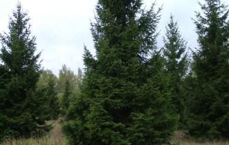 Ялина відноситься до сімейства «соснові» і налічує майже 40 видів вічнозелених дерев, висота яких сягає 30 метрів. Ялинові ліси знаходяться на третьому місці за займаною площею серед хвойних порід дерев, ялина поступається лише лиственницам і сосновим. Чисті смерекові ліси мають щільну, густу і темну структуру.Деревина їли м'яка, легка, не володіє високою міцністю, використовується в якості […]