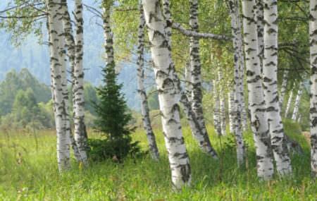 Ілюстрація:kudesniki.org Деревина берези має однорідну структуру. У ній практично немає природних смол. Матеріали з цього дерева володіють високою міцністю, особливо при ударних навантаженнях. Часто використовується для виробництва меблів. Береза потрапляє на ринок у
